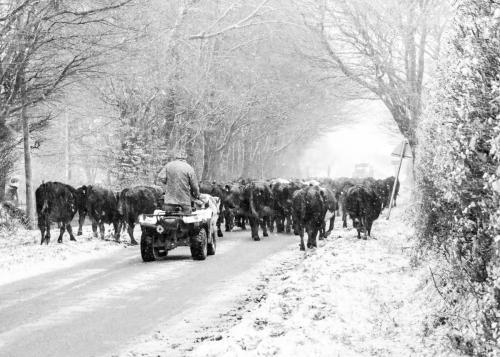 exmoor-cattle-2